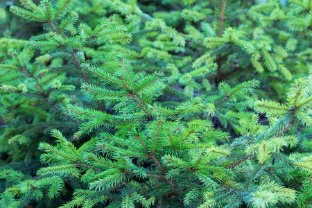 ramification: Evergreen fir branches with new grown ramification natural background
