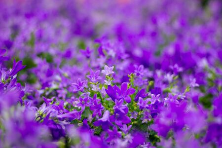 florish: Flora background of purple flowers in bokeh