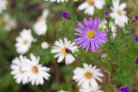 florish: Flora background of white and purple chamomile flowers