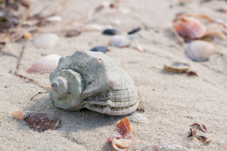 Seashells and clams on coastal sands, sandy beach seascape