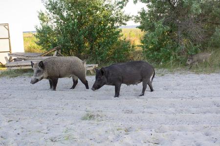 Wild pigs family walk on sea beach sands