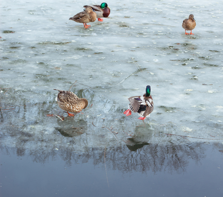 Flock of ducks playing and floating on winter ice frozen city park pond