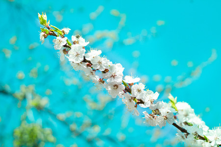 Postcard of fresh blossom flowers on spring cherry tree close-up on colourful bokeh blur background
