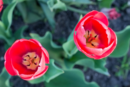 Bright colourful heads of red scarlet tulips with defocused background Stock Photo