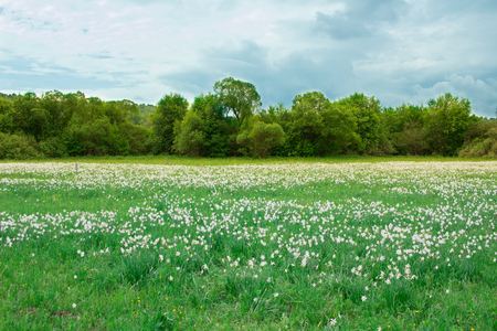 Field of wild white narcissuses flowering on green spring meadow near forest