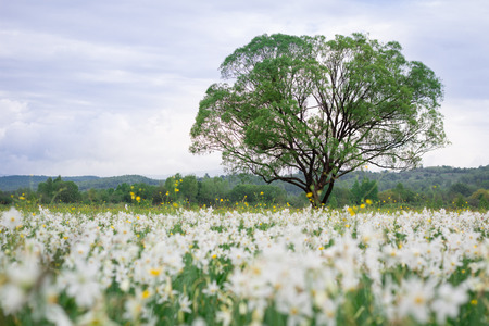 Coutryside view of flowering green spring meadow field of white narcissuses with lonely oak tree
