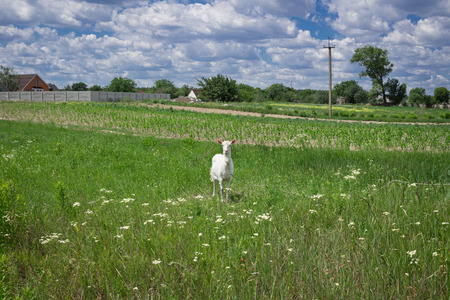 White adult goat grasses on green summer meadow field at village countryside