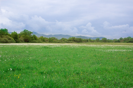 Field of wild white narcissuses flowering on green spring meadow near forest and mountains