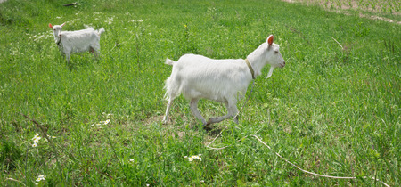 Two white goats grass on green summer meadow field at village countryside Stock Photo