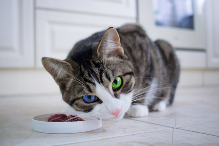 Watchful wary domestic pet cat with multicolored blue and green eyes guards meal meat in feeding bowl before eating Stock Photo