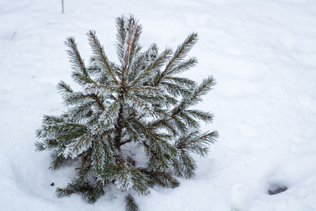 Lonely winter conftiterous fir tree close-up on white snow Stock Photo