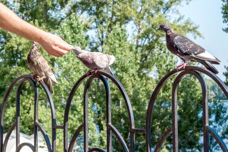 Man feeding breeding city pigeon with arm in outdoor Фото со стока