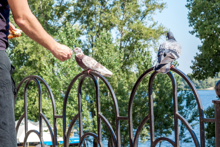 Man feeding city pigeon with arm in outdoor park Фото со стока