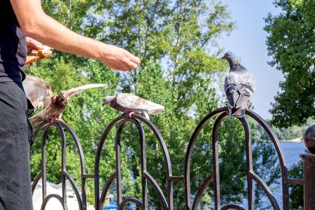 Man feeding breeding city pigeon with arm in park