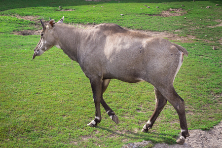 Wild antelope donkey horse walks in zoo aviary yard on green grass Stock Photo