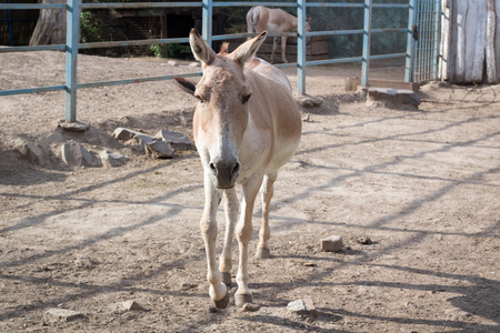 Wild antelope donkey walks in zoo aviary yard