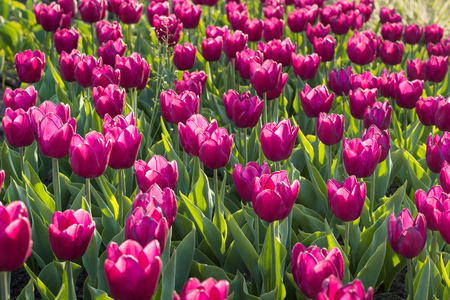 Green flower garden full of many bright colourful tulips blooming on spring time