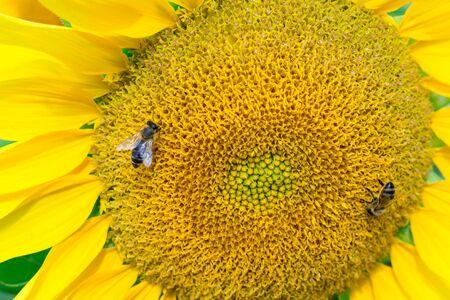 Close-up of honeybee on yellow bright sunflower gathering honey on field