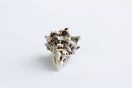 Marine life: light brown spiny itchy gastropod seashell close-up on white background
