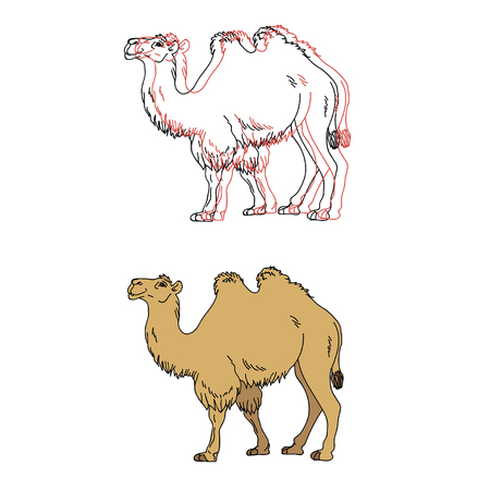 hoofed: Vector image of a camel, 2 options Illustration