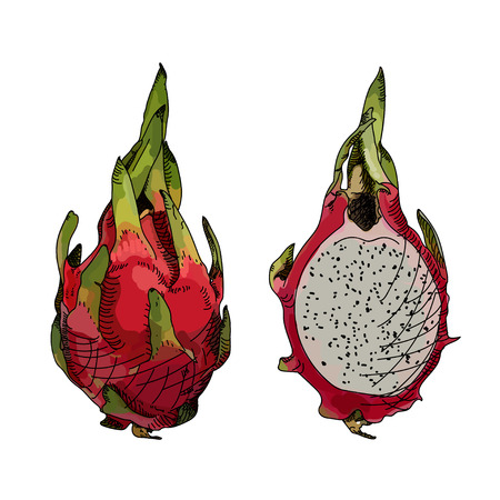 fruit du dragon: Dragon fruit or pitahaya. Vector illustration. Hand-drawn fruit decorative element useful for invitations, scrapbooking, design.