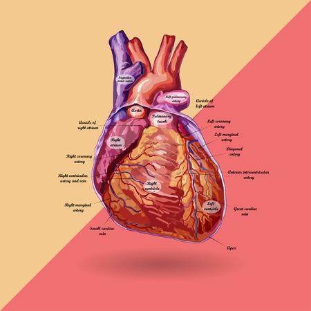 vein valve: human heart vector with description. No trace Illustration