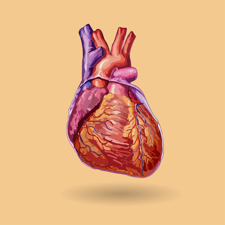 human chest: Human heart vector . Realistic illustration. No trace