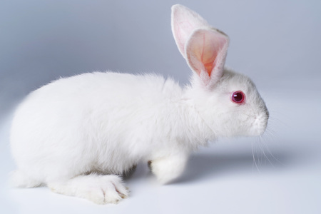 A little white rabbit on a light gray background. Stock Photo