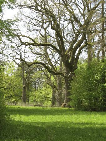 Bialowieski National Park in Poland. Big old oaks.