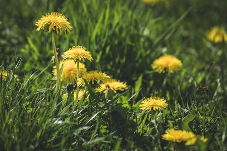 Yellow flower meadow of dandelions.