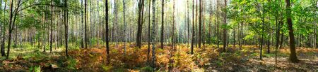 Beautiful forest in autumn with bright sun shining through the trees - wide panoramic view. Banque d'images