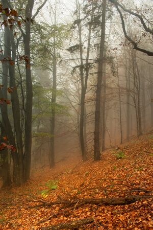 Red leaves of a beech lying on ground. Autumn in a wild hazy forest. Healthy lifestyle. Banque d'images