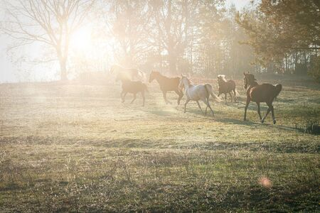 Herd of horses grazing in a field. Galloping horses in the morning in the rays of the rising sun.