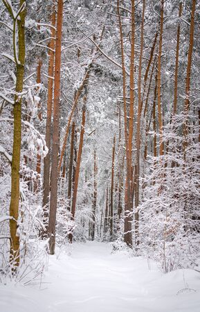 forest in winter Banque d'images