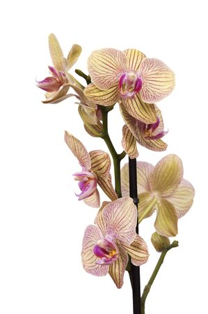 orchid house: yellow and purple orchid isolated against white Stock Photo