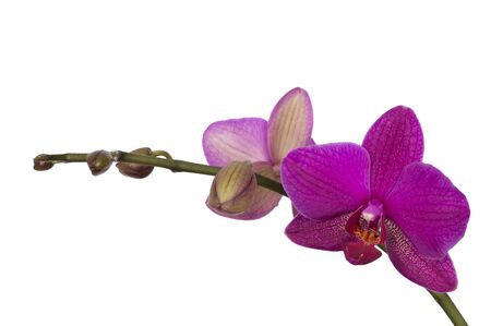 orchid house: purple orchid isolated against white
