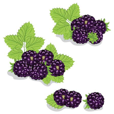 dewberry: Berries are sweet blackberry closeup