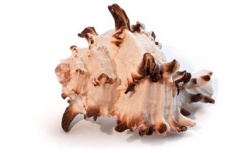 echinoderm: Sea shell isolated on white
