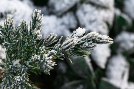 snowfalls: Snow fir tree branches under snowfall. Winter detail Stock Photo