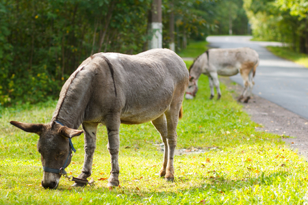closeup cow face: Young donkey eating green grass on a sunny day Stock Photo