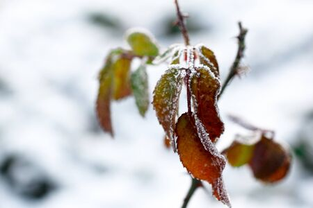 low temperature: The frost on the leaves. Frozen leaf under the snow with shallow DOF