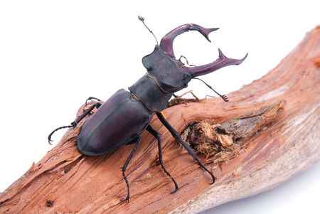 Lucanus cervus.Beetle on a branch. Isolation is not a white background. Stok Fotoğraf