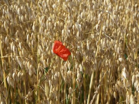 Single poppy blossom in an oat field photo