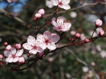 Pink blossom of a prune tree photo