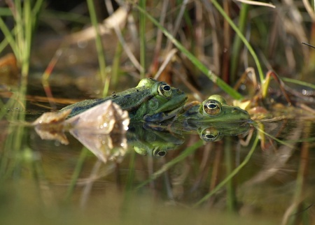 Two Frogs at the waterside of a pond with reflections in the water Stock Photo - 10338840