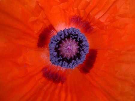 serrated: Macro of a full opened poppy blossom Stock Photo