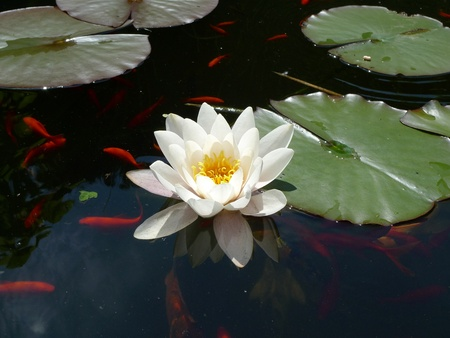 White water lily Stock Photo - 10358741