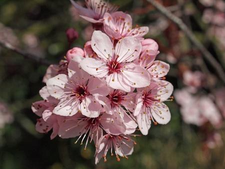 pruneau: Fleur rose d'un prunier