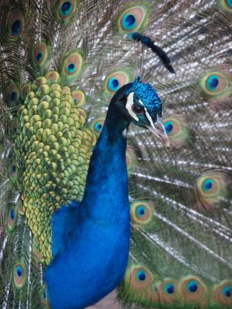 peacock wheel: Primo piano di un pavone girando una ruota Archivio Fotografico