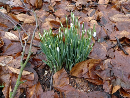 First snowdrops in late winter time